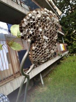 20140914 アシナガバチの巣s.jpg